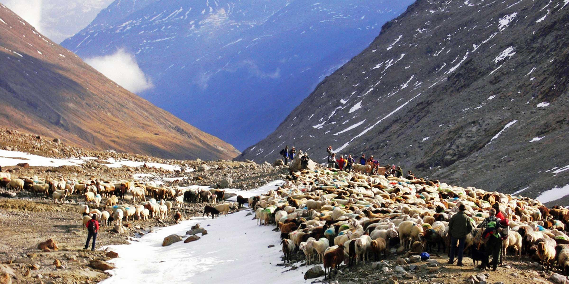 Eine Herde weißer, brauner und schwarzer Schafe - Schafüberttrieb Vent, Ötztal