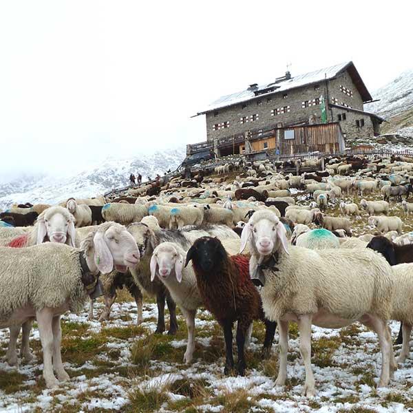 Schafe bei Martin-Busch-Hütte - Schafübertrieb Vent, Ötztal