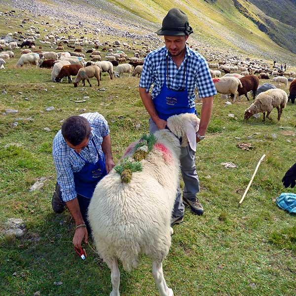 Das schönste Schaf wird geschmückt