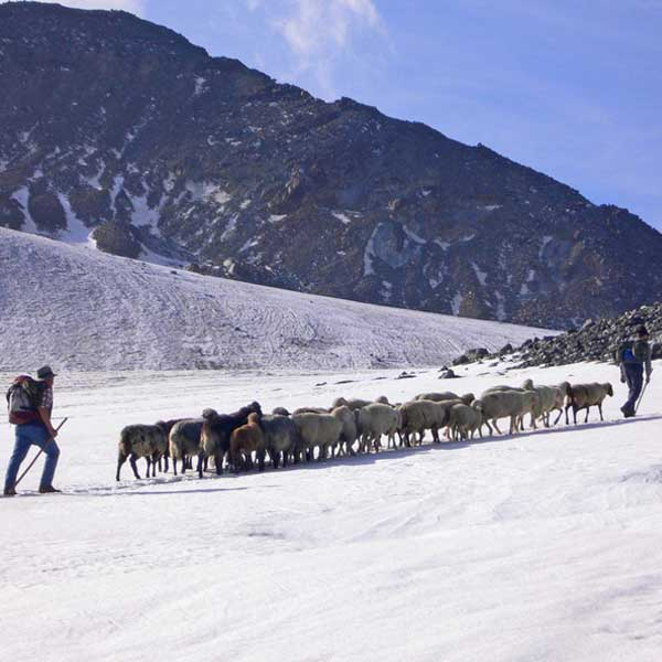 An advance guard on the glacier - Sheep drive Vent, Ötztal, Tyrol