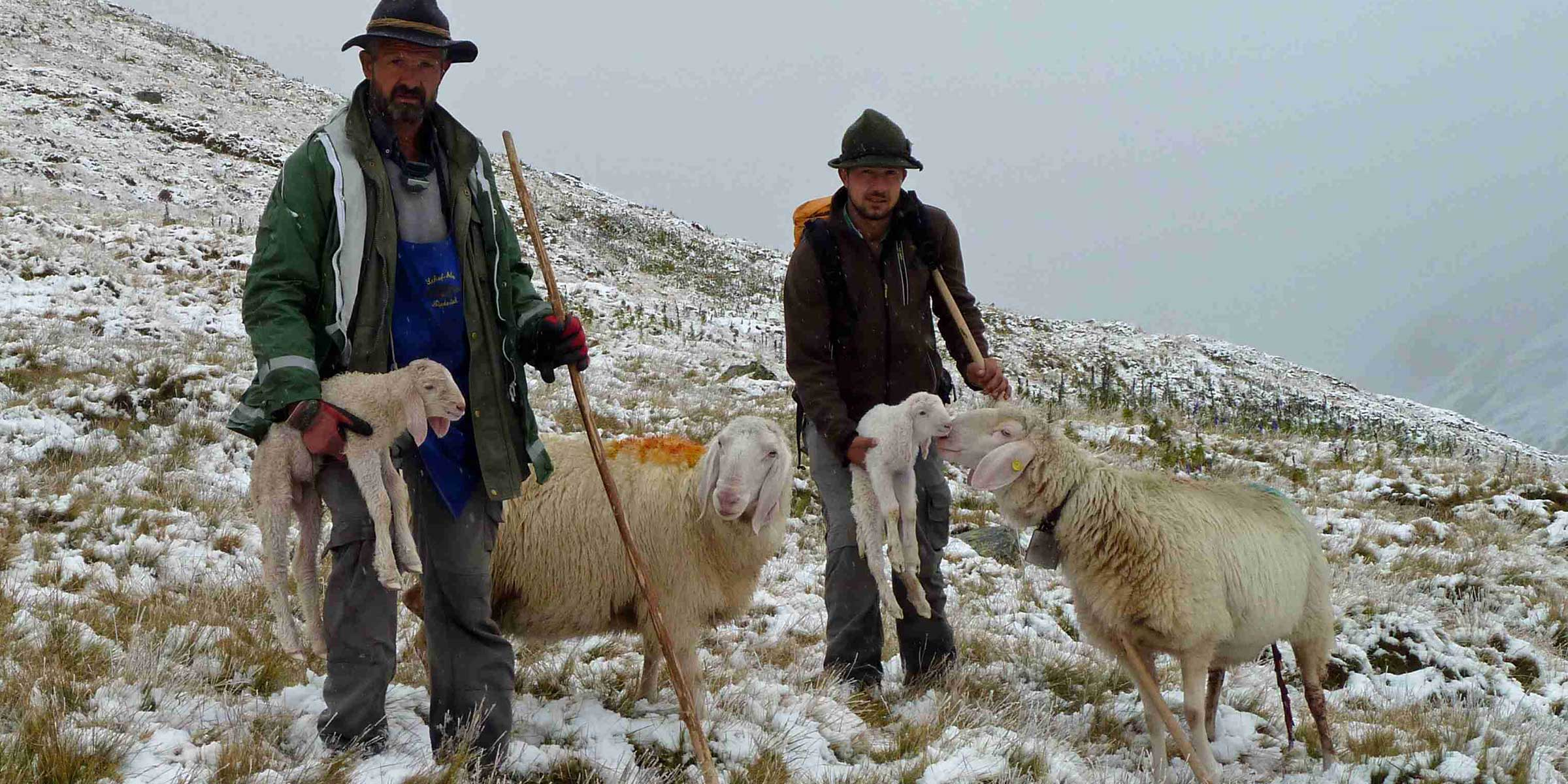 Hirten mit Schafen - Schafübertrieb Vent, Ötztal