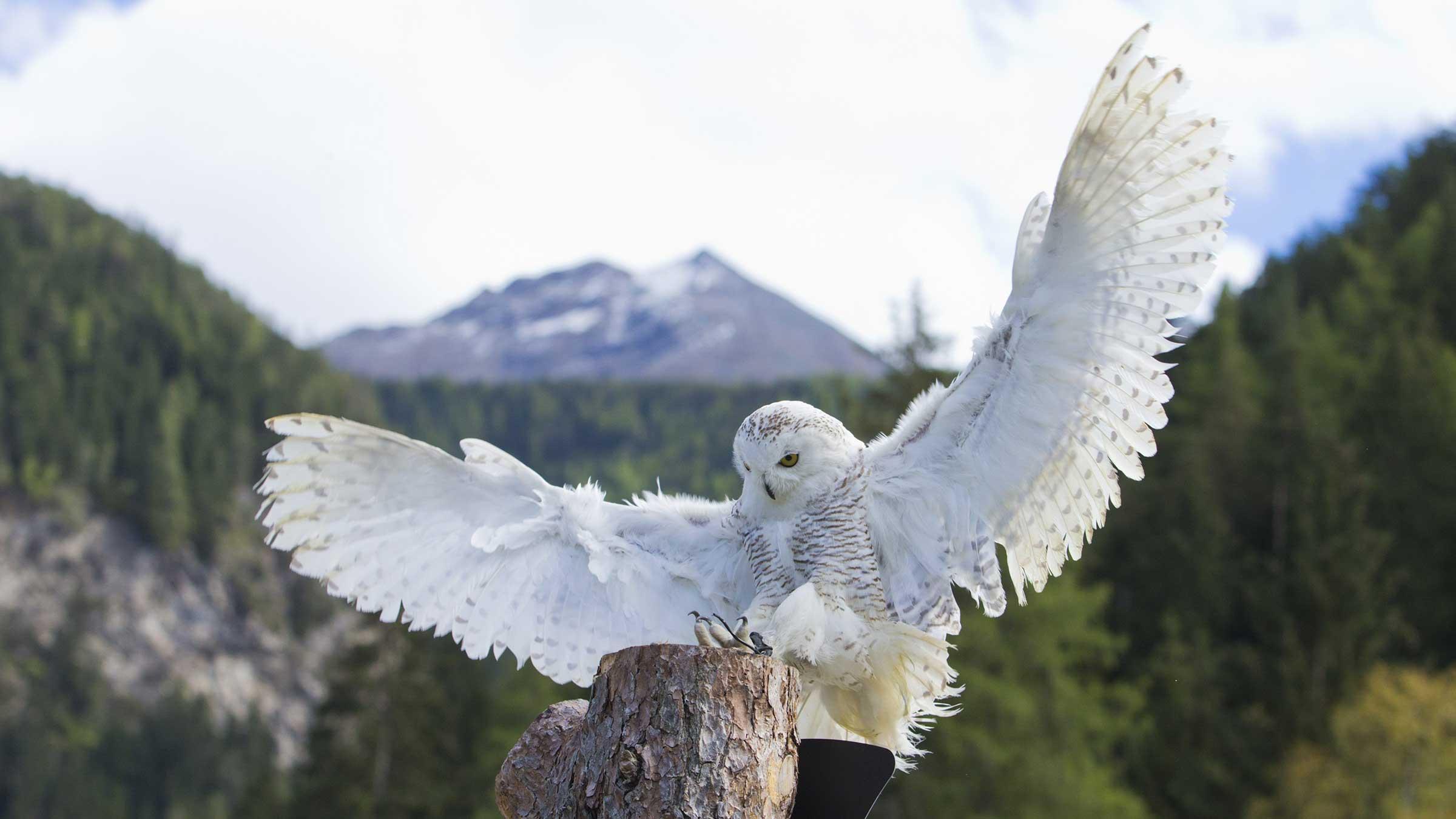 Schneeeule im Landeanflug - Greifvogelpark