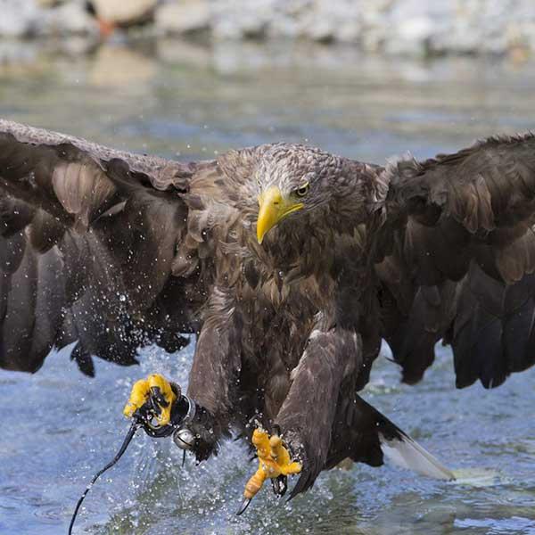 Beutejagd im Wasser - Greifvogelpark