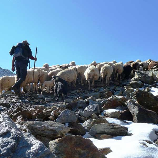 Hirte und Herde - Schaftrieb