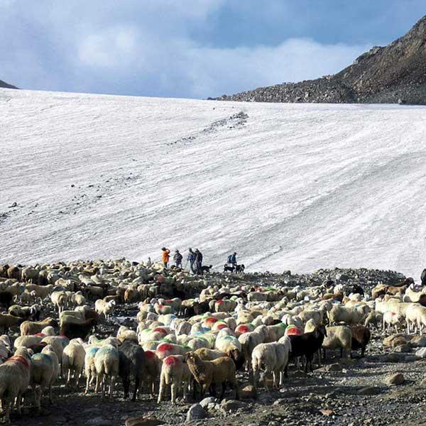 Schafherde und Hirten vor Schneefeld - Schaftrieb