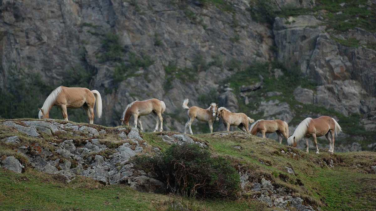 Pferde auf Wiese - Naturpark Ötztal
