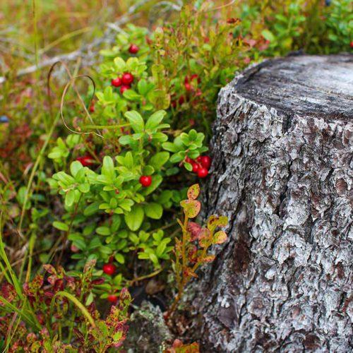 Granten und Baumstamm - Granten Preiselbeeren Ötztal