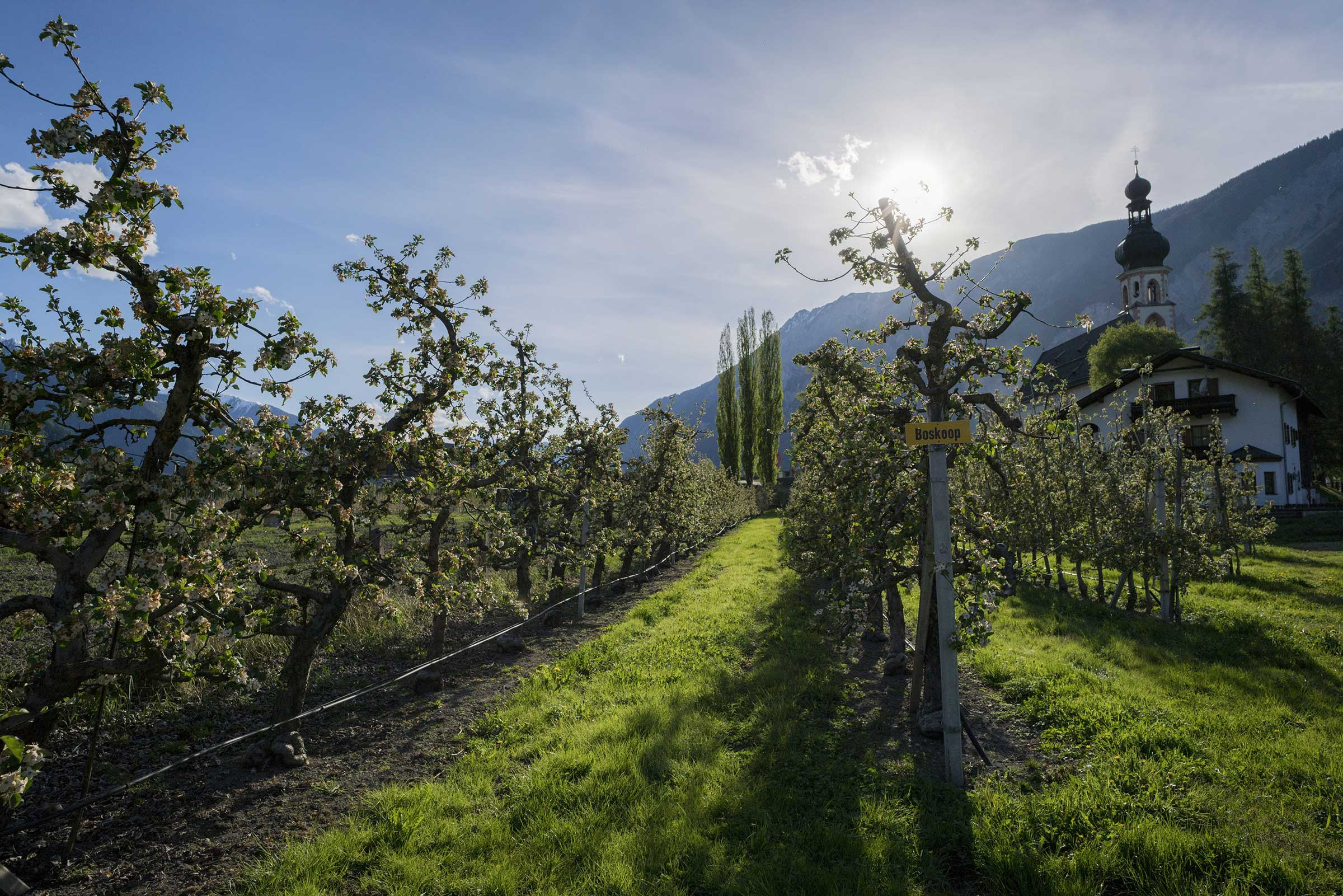 Apfelbäume in Reih und Glied - Haiminger Markttage