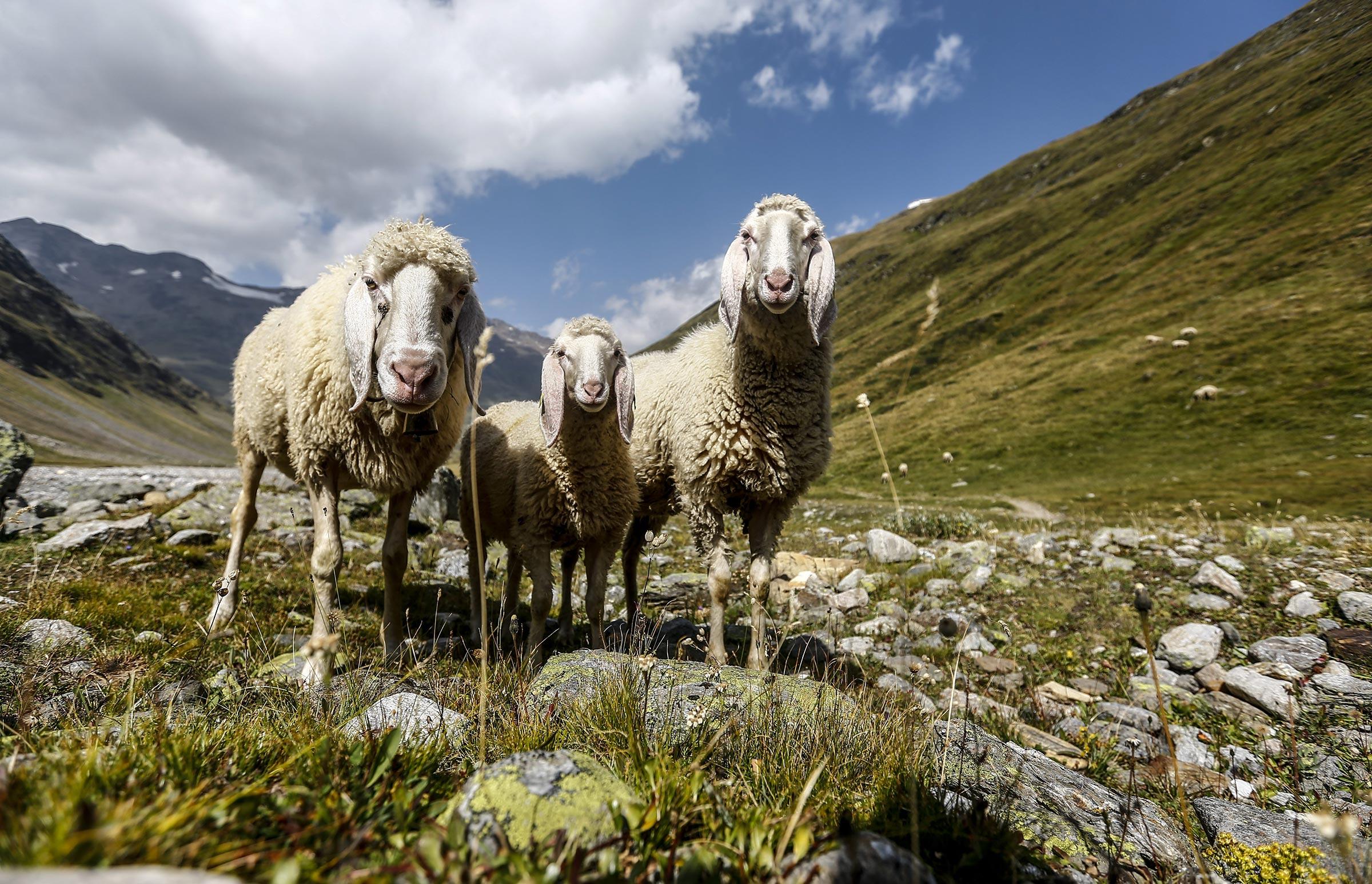 Schafe auf Weide - Ötztaler Schafwollzentrum Regensburger