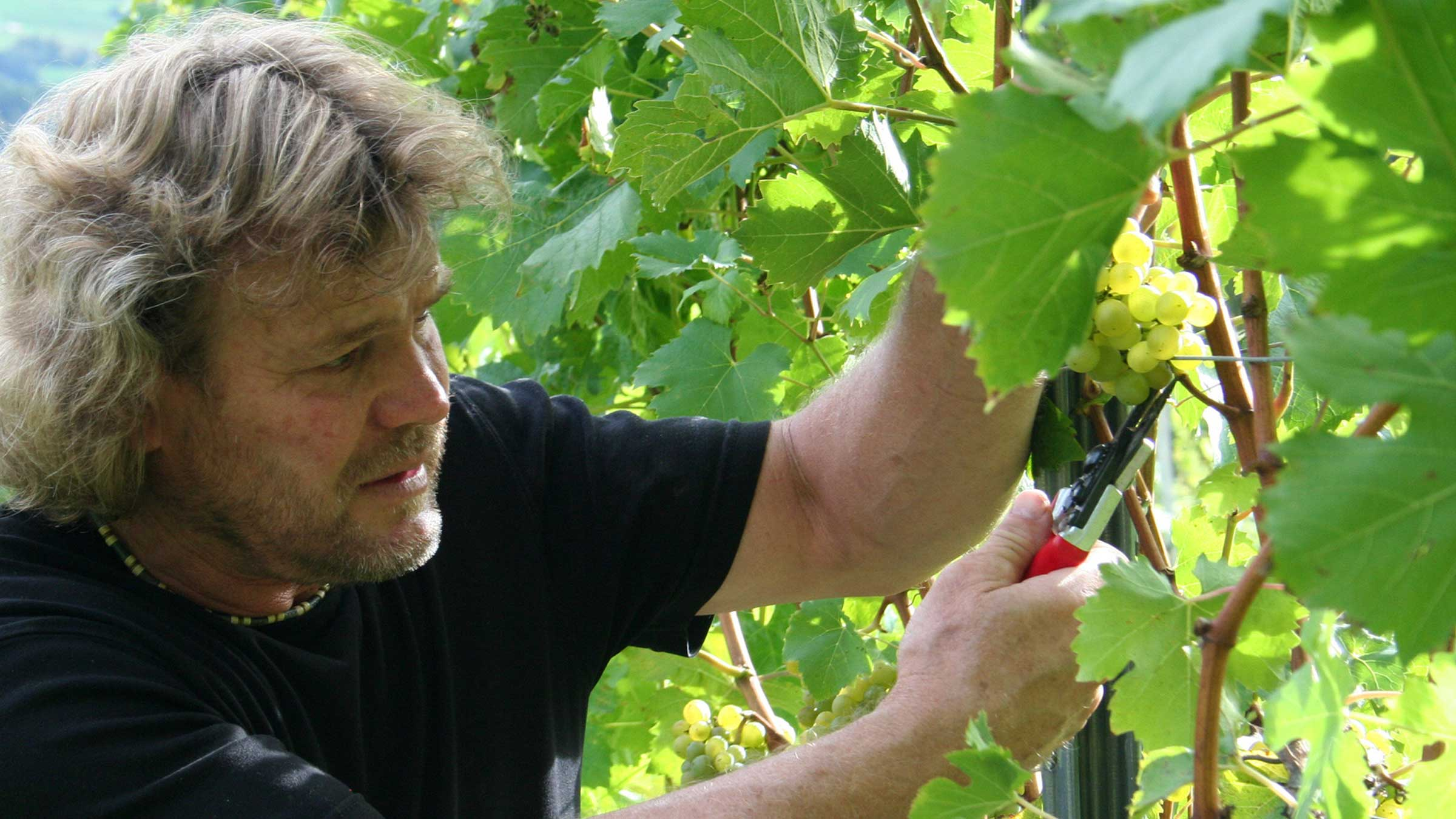 Peter Zoller bei der Weinlese - Herbsturlaub Haiming