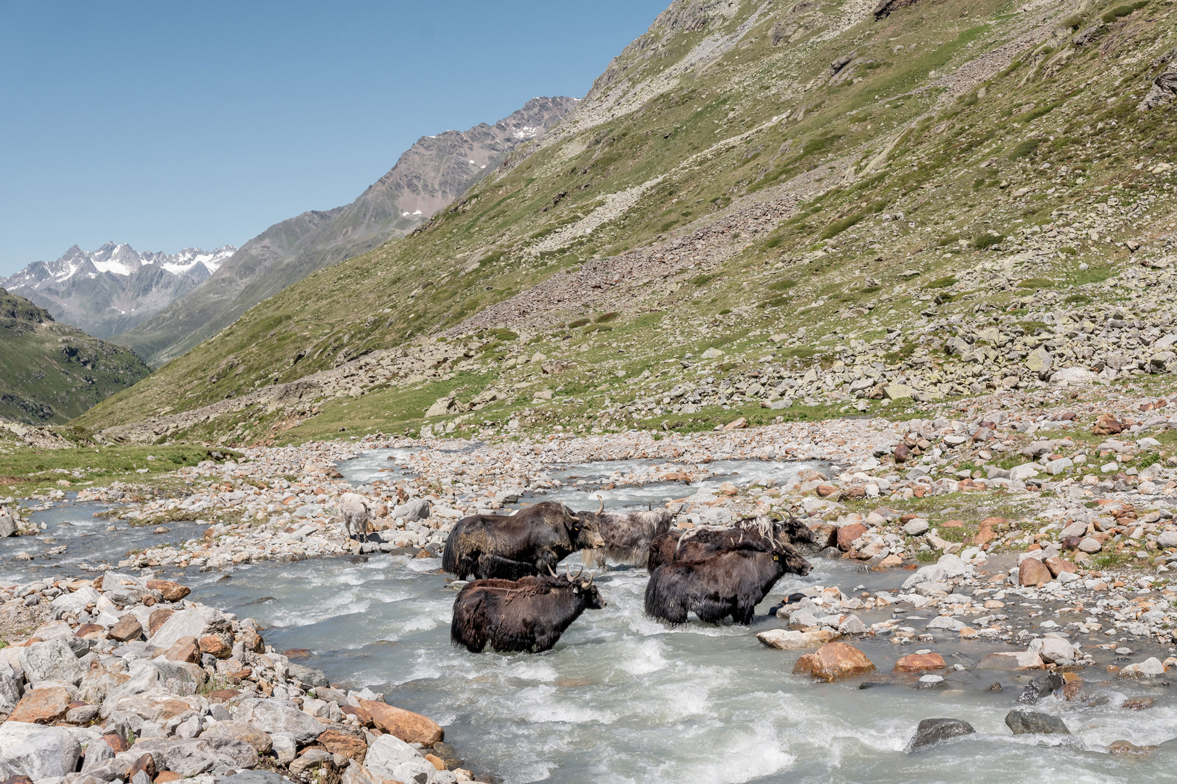Yaks im Windachtal bei Sölden - Kulinarik Ötztal